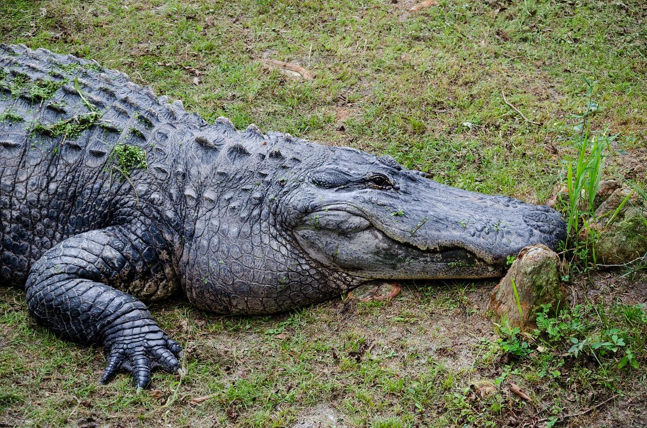 Tamaño del cocodrilo
